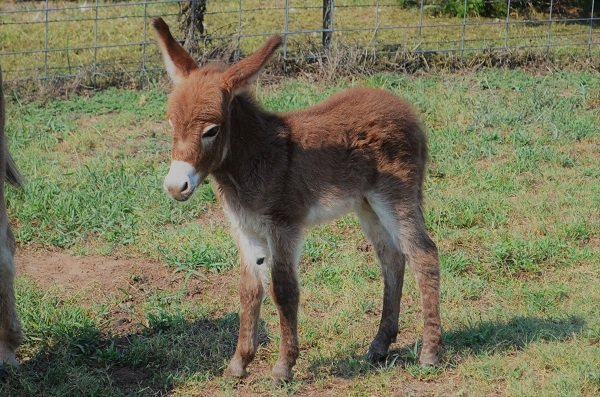 Miniature Donkey Ranch